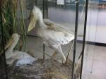 800px-Stuffed-Pelicans-Srebarna